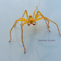 Yellow Lynx Spider