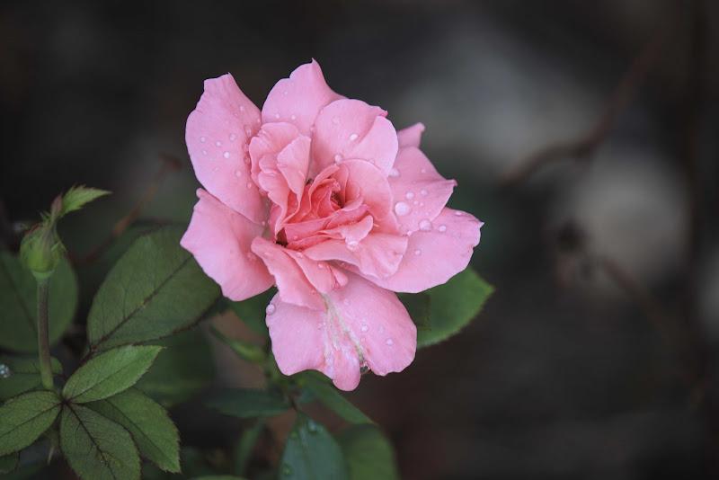 soffice rosa di ciro_narzisi