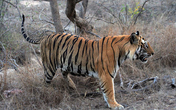 Photo: What a splendid photography again by Philip Davis  of Tiger Awareness