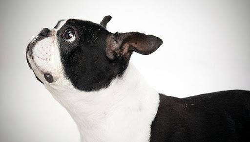 Boston Terrier Live Wallpaper