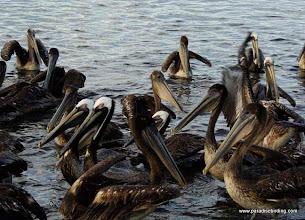 Photo: Brown Pelicans at the boat docks in San Blas