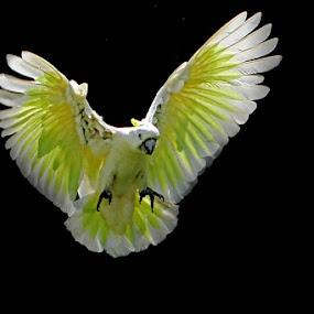 BEAUTY YELLOW  by Ian Sumatika - Animals Birds