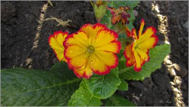 Photo: Primula (Primula: veris, vulgaris) - din Turda, Str. Salinlor, Nr. 15 - 2019.03.30