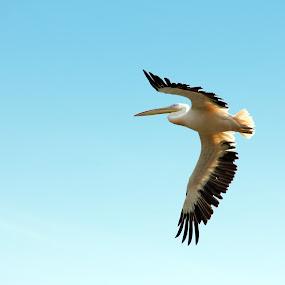 Pelican by Shubhendu Bikash Mazumder - Animals Birds