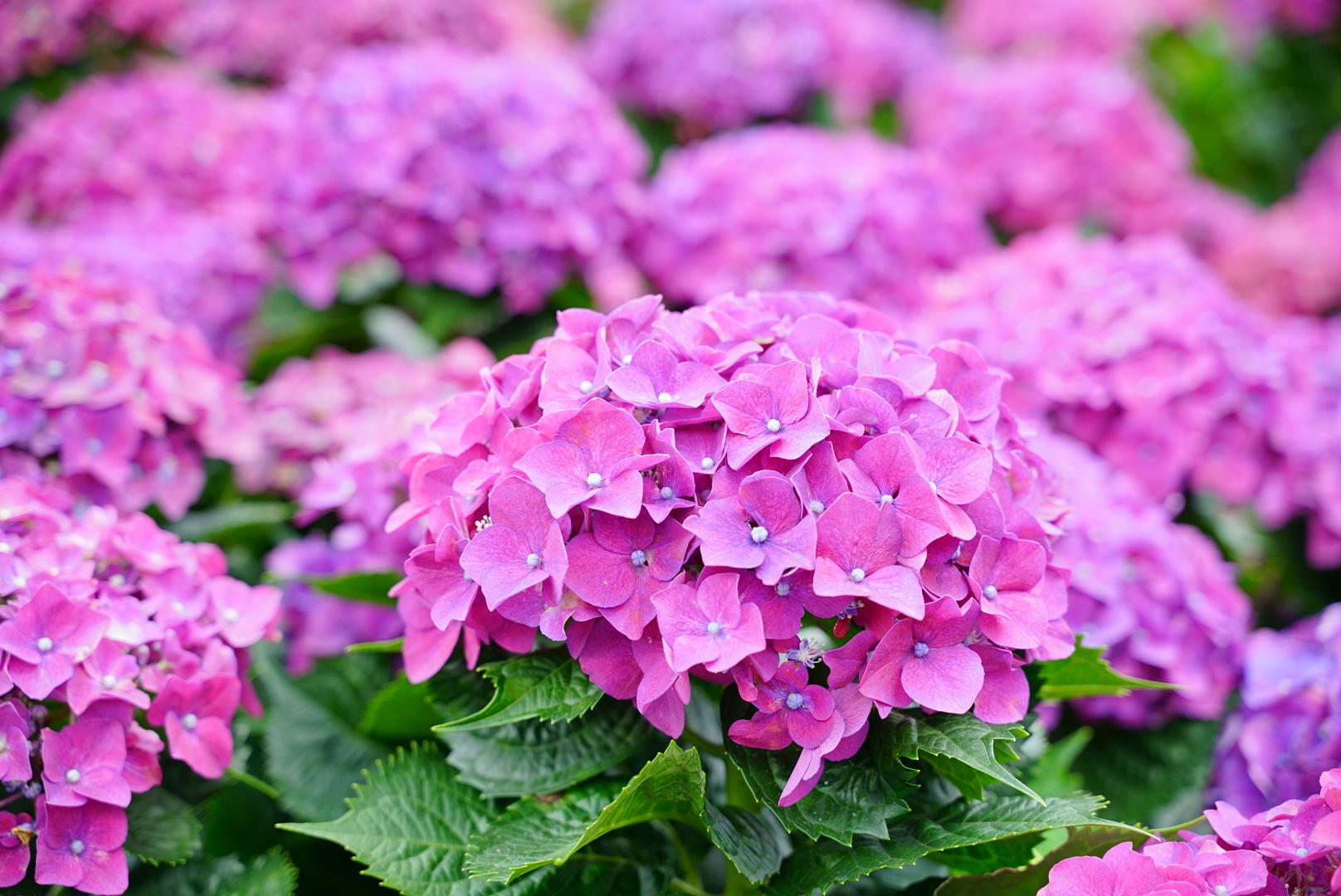 【旅行】陽明山 夏季必去紫陽花人氣景點-花谷海芋田