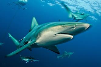 Photo: Carcharhinus limbatus, Aliwal Shoal, South Africa