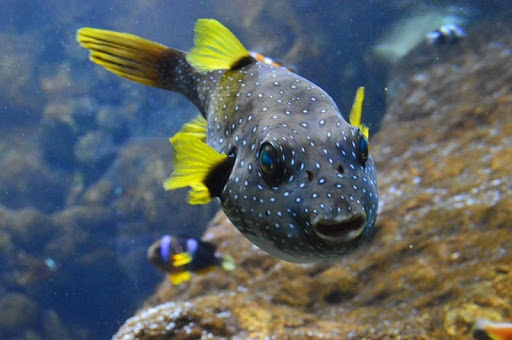 Puffer Fish Wallpapers HD FREE