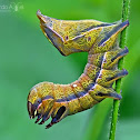 Crinodes caterpillar