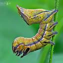 Crinodes caterpillar