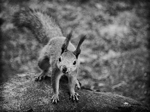 Photo: Staring Contest For the black and white edition of #SquirrelSaturday curated by +SE Blackwelland +Skippy Sheeskin