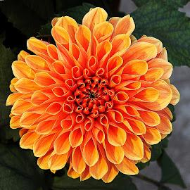 by Ujj Shil - Flowers Single Flower (  )