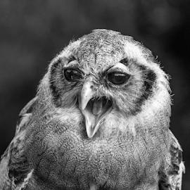 Milky Owl by Garry Chisholm - Black & White Animals ( raptor, bird of prey, nature, milky owl, garry chisholm )