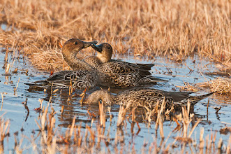Photo: Fencing match between two pintails