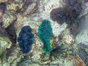 Photo: Giant clams