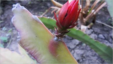 Photo: Cactuși (Cactaceae) - de pe Calea Victoriei, Nr.5, spatiu verde - 2018.05.22