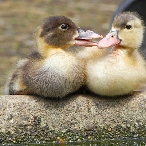 by Laura Payne - Animals Birds ( water, duckling, quack, mottled, trough, chat, yellow, feather, bird, chick, muscovy, duck, baby, animal, Dogs, Cats, Pets, Rabbits, Animals, pet, livestock, cows,  )