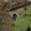 Furry Moth Caterpillar