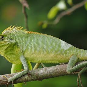 ngadepong by Dedi Sukardi - Animals Reptiles ( lizard, reptile, animal )