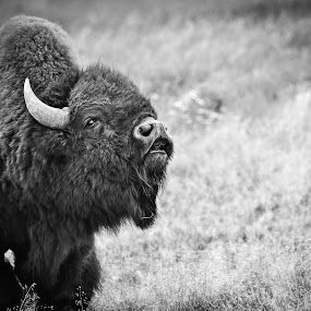 Call of the Buffalo  by Jay Kazen - Animals Other Mammals ( buffalo, animals, nature, black and white, bison, rut, wyoming )