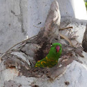 Scaly-breasted Lorikeet (nesting)