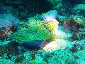 Photo: #007-Plongée à Poindimié. Anémone magnifique