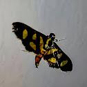 Red-Waisted Florella Moth / Mariposa-de-Manchas-Laranjas