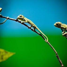 Common Green Iguana by Sandeep  Kumar - Animals Reptiles ( wild, pwcbabyanimals, goat, green, wildlife, kid, sale, iguwana, wow, iguana, india, baby, sk.fotography, reptile, rebel, small, leopard )