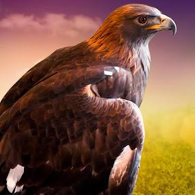 Golden Eagle Ambassador Donald by Linda Tiepelman - Animals Birds ( eagle, feather friend, golden eagle, claws, bird, national eagle center, minnesota, donald, golden eagle ambassador, beak, brown, gold, soar )
