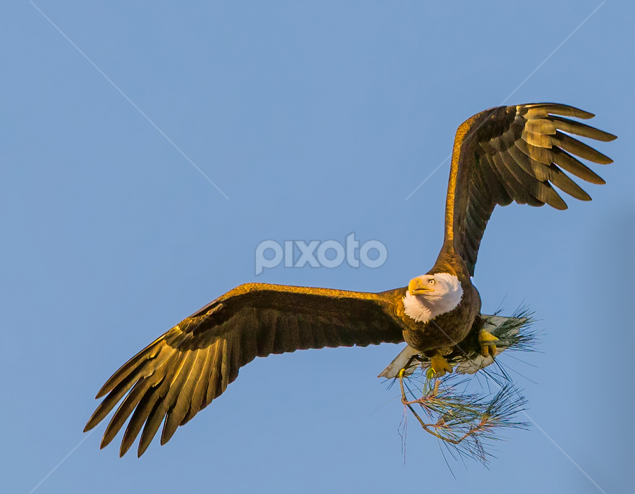 Flight with Pine Bough by Don Holland - Animals Birds