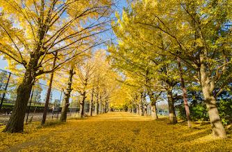 Photo: A row of Ginko Trees at Showa Kinen Park in Tachikawa, Tokyo