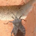Pachylis laticornis