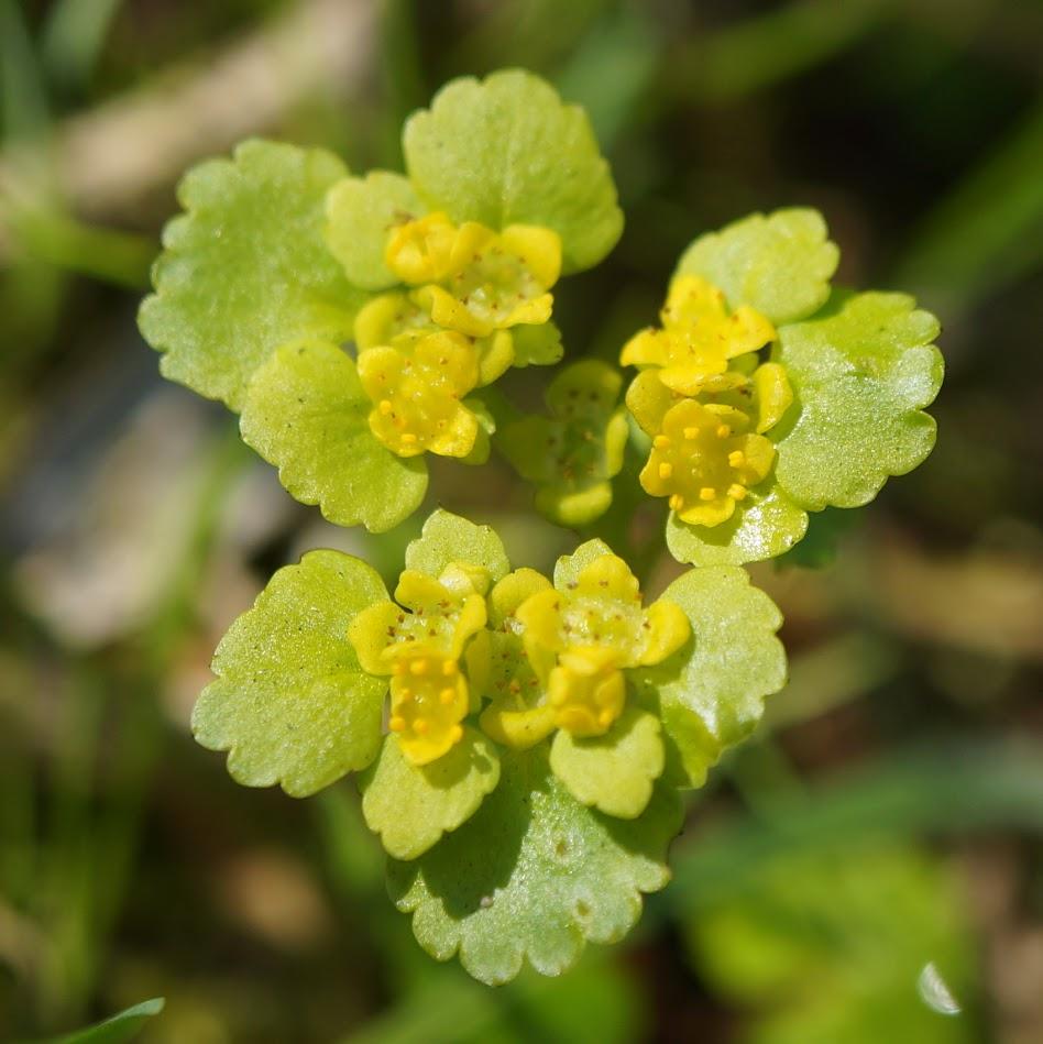 bloem met gele kroonbladen, omgeven door helder geelgroene schutbladen