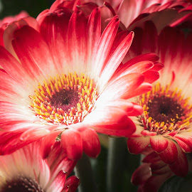Gerbera by Darrell Evans - Flowers Flowers in the Wild ( nikon, red, asteraceae, gerbera, d600, petals, flower )