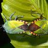 Stink/Shield Bug