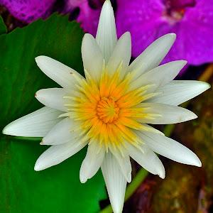 White lotus processed Oct 5.jpg
