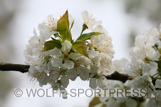 Photo: Blütenpracht, Kirschblüten im April