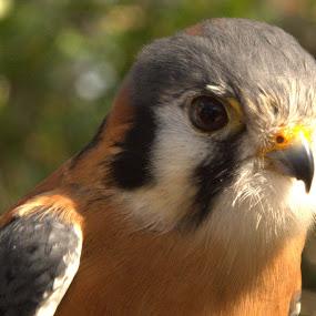 by George Nichols - Animals Birds ( bird, birds of prey, flight, animals, bird of prey, american,  )