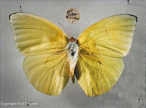 Photo: The lemon migrant (Catopsilia pomona) collected by Wallace in Timor. © Oxford University Museum & Fred Edwards