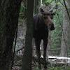 Bull Moose (Juvenile)
