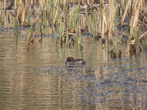 Photo: Priorslee Lake one of the Little Grebes at the lake. Now in dark chestnut breeding plumage with the distinctive pale base to the lower mandible (Ed Wilson)