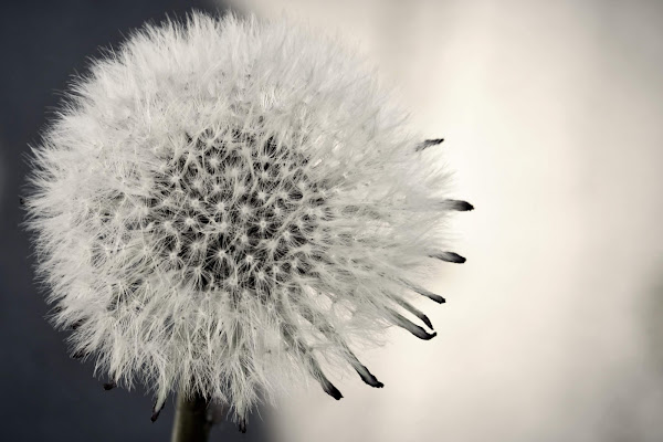 Dandelion di tatiana morello