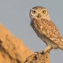 Lilith Owl