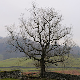 Winterfingers by DJ Cockburn - Nature Up Close Trees & Bushes ( cumbria way, england, britain, elterwater, nature, countryside, rural, tree, winter, deciduous, scenic, branch, scene, lake district, view, field, uk, dry stone wall, wood, cumbria, pasture, meadow )