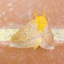 Spiny Oakworm Moth