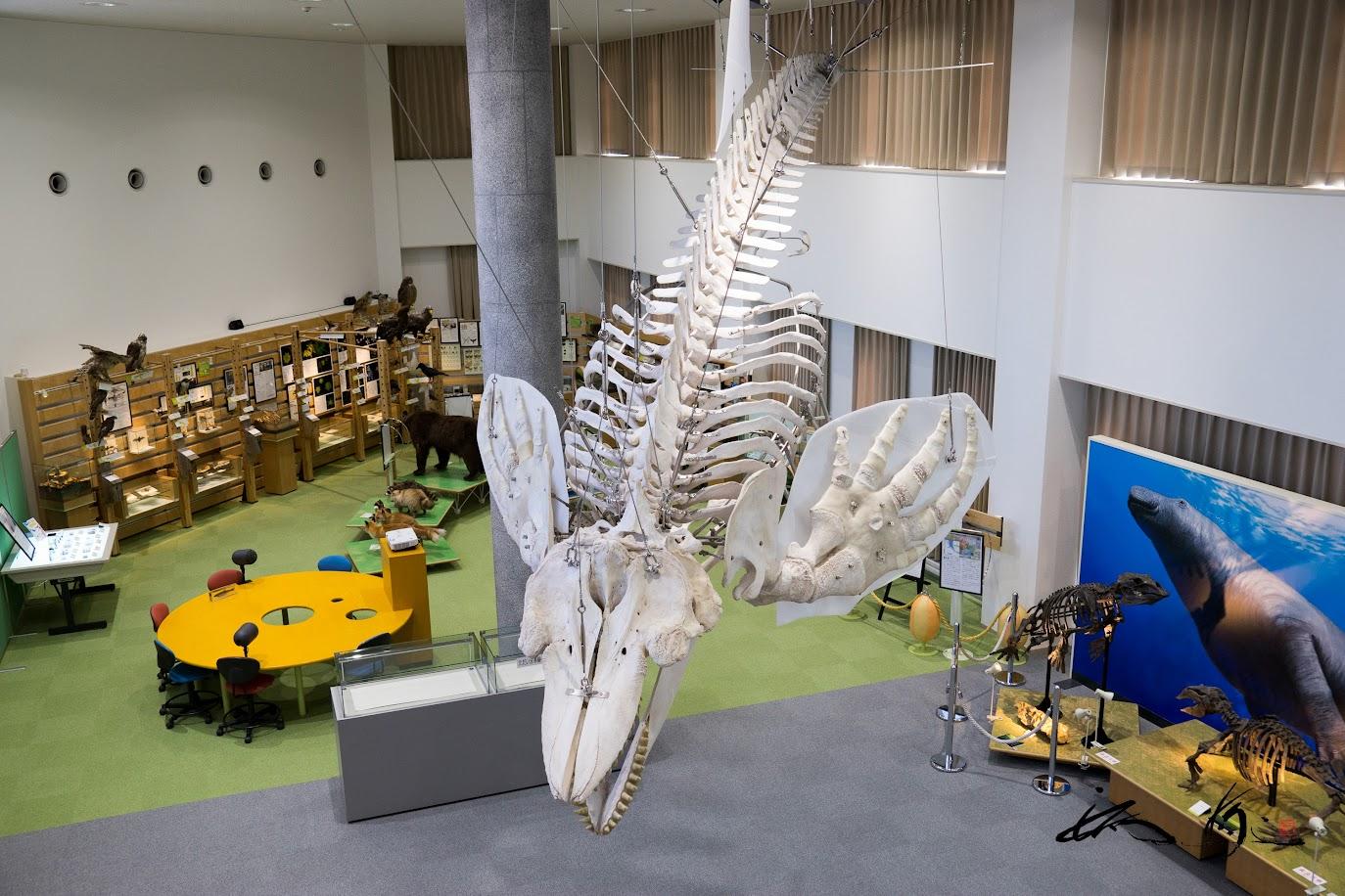 2階から見たシャチ骨格