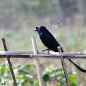 Black Drongo