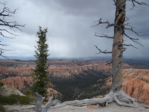 Photo: Twisted pine trees hang on to the cliff edge.