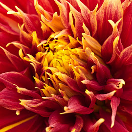 by Jim Jones - Flowers Single Flower ( flowers, nature, nature up close, colorful, flower )