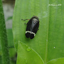 Black and white Froghopper