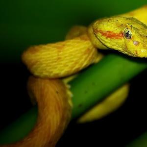 yellow eyelash_ceiba.jpg